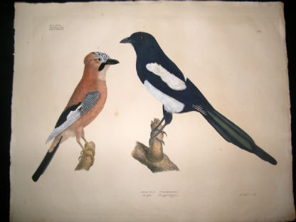 Goldfuss C1830 LG Folio Hand Colored Bird Print. Magpie & Eurasian Jay | Albion Prints